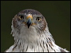 Click here to enter Bonelli's Eagle photo gallery