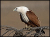 Click here to enter Brahminy Kite photo gallery