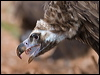 Click here to enter Cinereous Vulture photo gallery