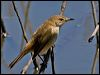 Click here to enter gallery and see photos of: Australian Reed Warbler, Sedge Warbler.