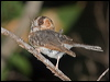 Click here to enter Australian Owlet-nightjar photo gallery