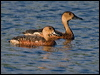 Click here to enter Wandering Whistling Duck photo gallery