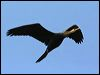 Click here to enter gallery and see photos of: Anhinga; Oriental, Australasian Darter