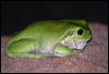 Click here to enter gallery and see photos of: Green Striped, Green, Eastern Dwarf, Peron's, White-lined & Northern Laughing, Tree Frogs; Striped & Bumpy, Rocket Frogs; Cogger's Barred Frog