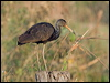 Click here to enter gallery and see photos of: Limpkin