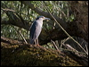 Click here to enter Black-crowned Night Heron photo gallery