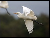 Click here to enter Eastern Cattle Egret photo gallery