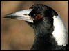 Click here to enter gallery and see photos of: Black-backed, Grey, Pied and Black Butcherbirds; Australian Magpie; Pied, Black and Grey Currawongs; White-breasted, Masked, White-browed, Black-faced, Dusky and Little Woodswallows