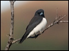 Click here to enter White-breasted Woodswallow photo gallery