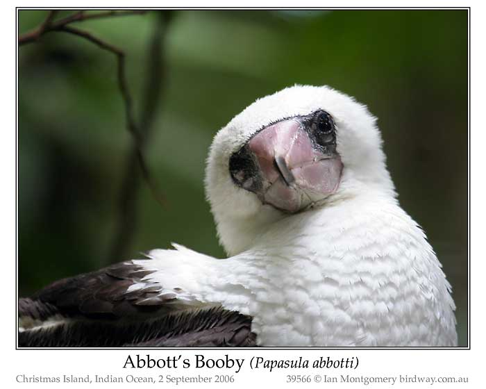 Photo of Abbott's Booby abbotts_boby_39566_pp
