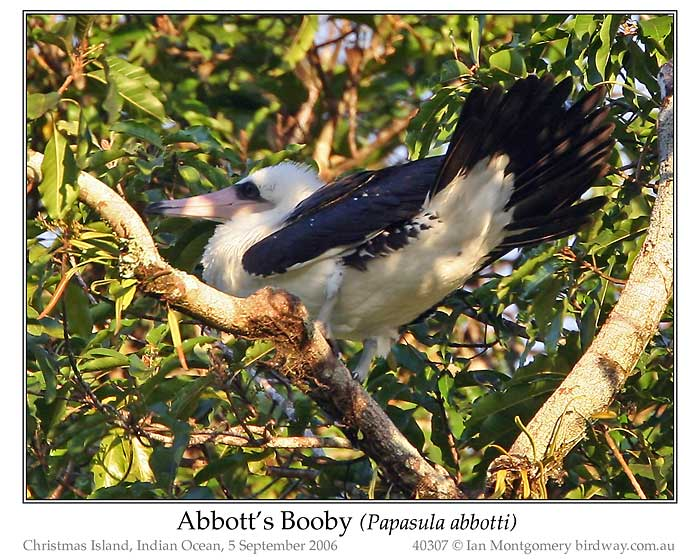 Photo of Abbott's Booby abbotts_booby_40307_pp