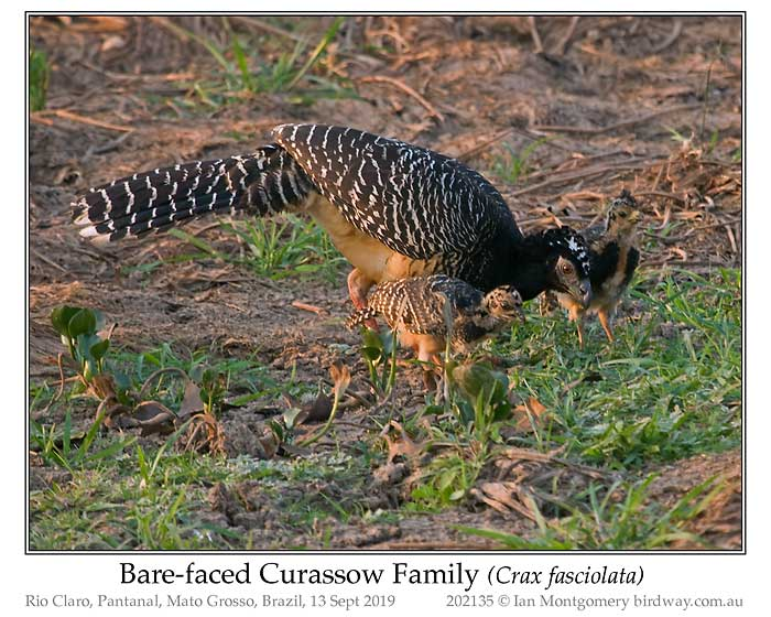 Photo of Bare-faced Curassow bare_faced_curassow_202135_pp