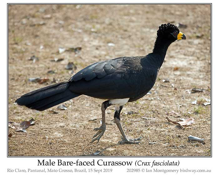 Photo of Bare-faced Curassow bare_faced_curassow_202985_pp