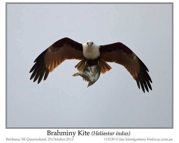 Photo of Brahminy Kite brahminy_kite_113139