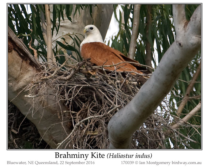 Photo of Brahminy Kite brahminy_kite_170039
