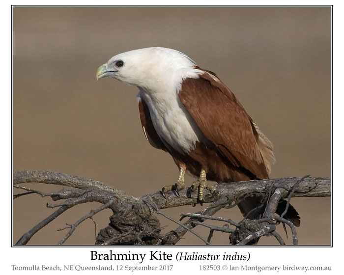 Photo of Brahminy Kite brahminy_kite_182503