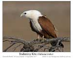Click here to view Bird of the Moment #579 Brahminy Kite 24 October 2017