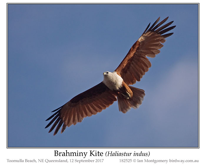 Photo of Brahminy Kite brahminy_kite_182525