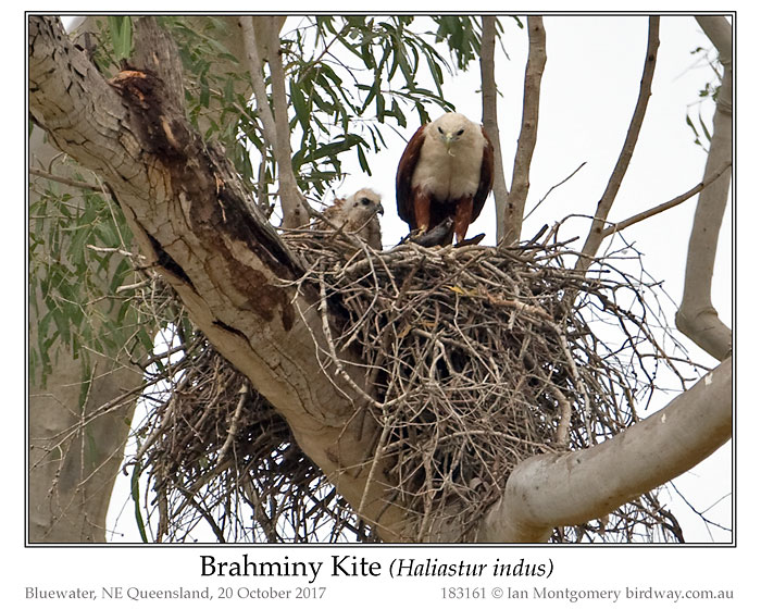 Photo of Brahminy Kite brahminy_kite_183161