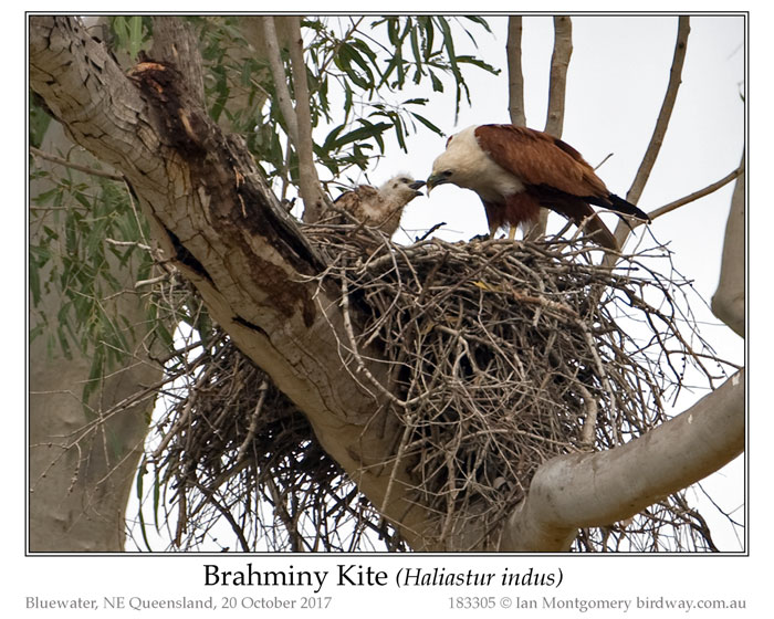 Photo of Brahminy Kite brahminy_kite_183305