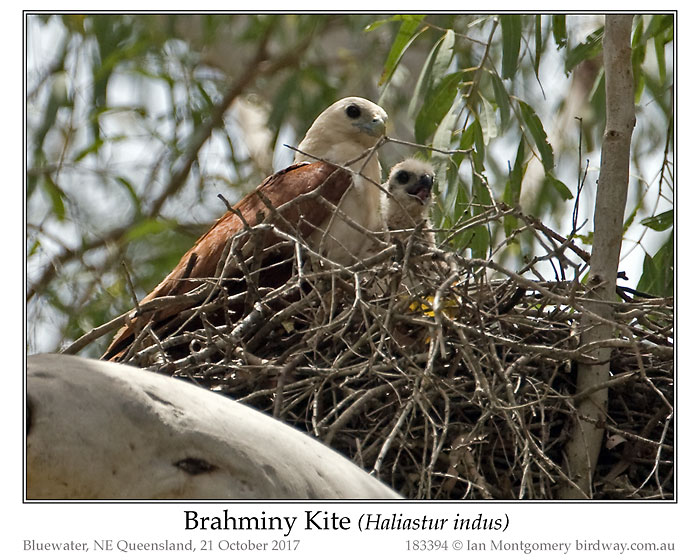 Photo of Brahminy Kite brahminy_kite_183394