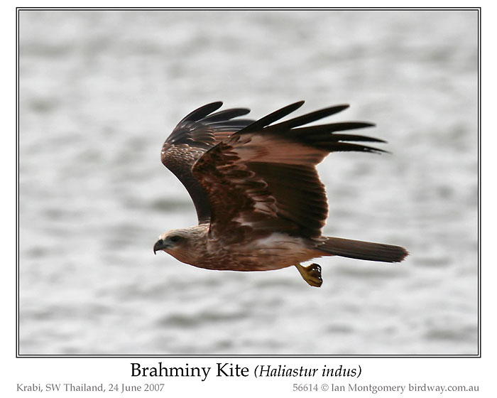 Photo of Brahminy Kite brahminy_kite_56614