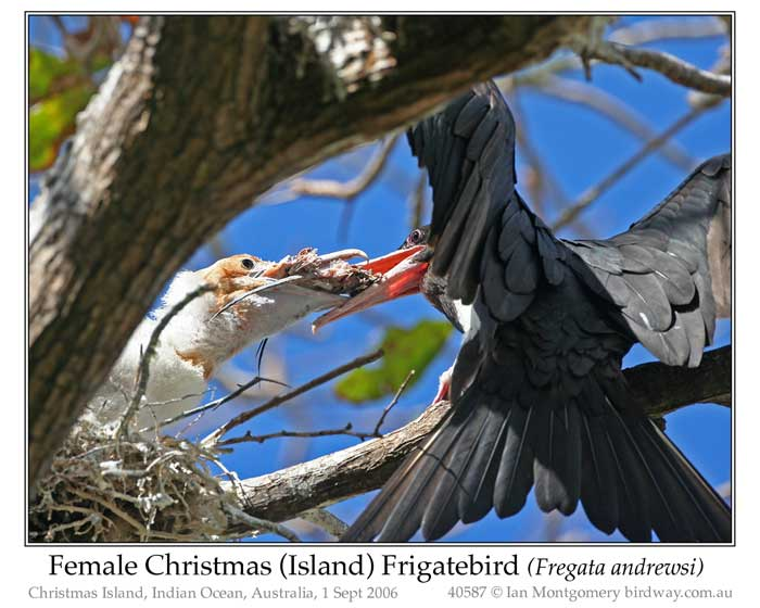 Photo of Christmas Island Frigatebird chris_is_frigatebird_40587_pp