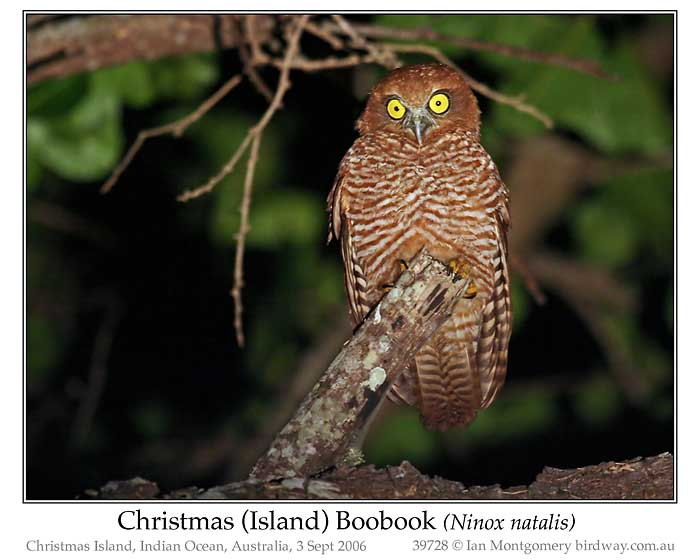 Photo of Christmas Island Boobook christmas_boobook_39728_pp