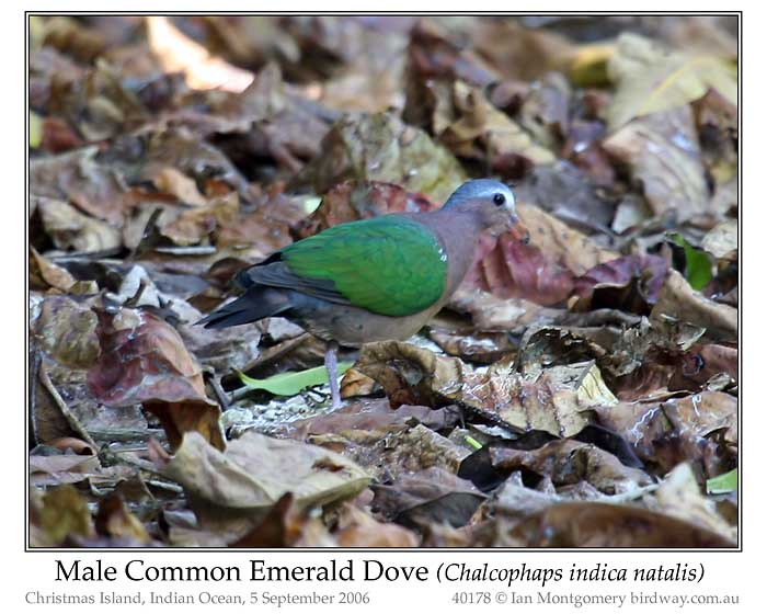 Photo of Common or Asian Emerald Dove common_emerald_dove_40178_pp