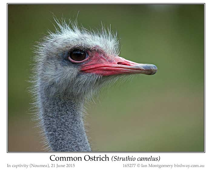 Photo of Common Ostrich common_ostrich_165277_pp