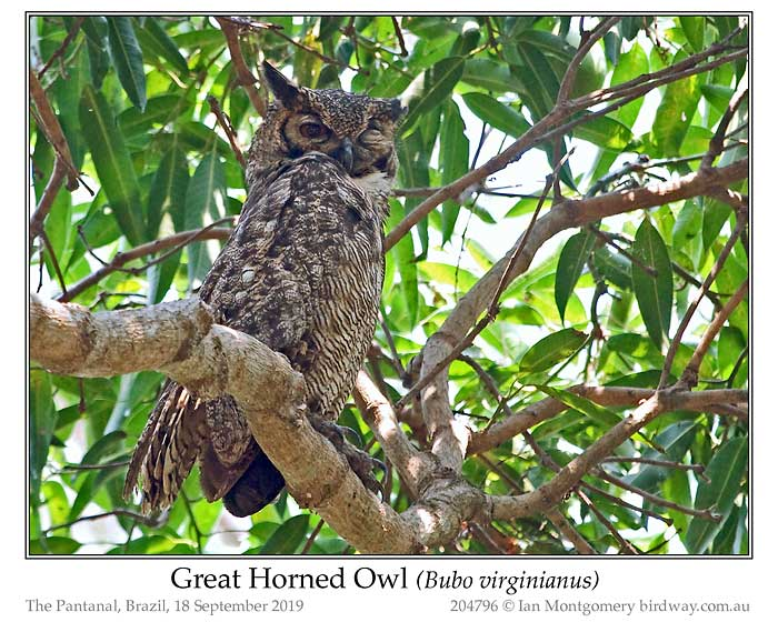 Photo of Great Horned Owl great_horned_owl_204796_pp