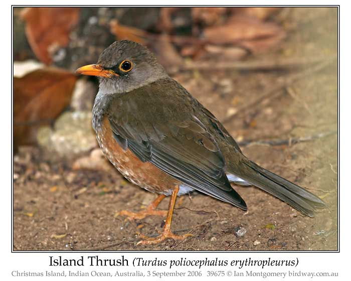 Photo of Island Thrush island_thrush_39675_pp