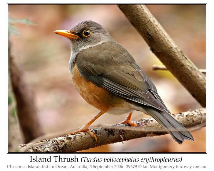 Photo of Island Thrush island_thrush_39679_pp
