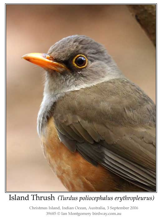 Photo of Island Thrush island_thrush_39685_pp