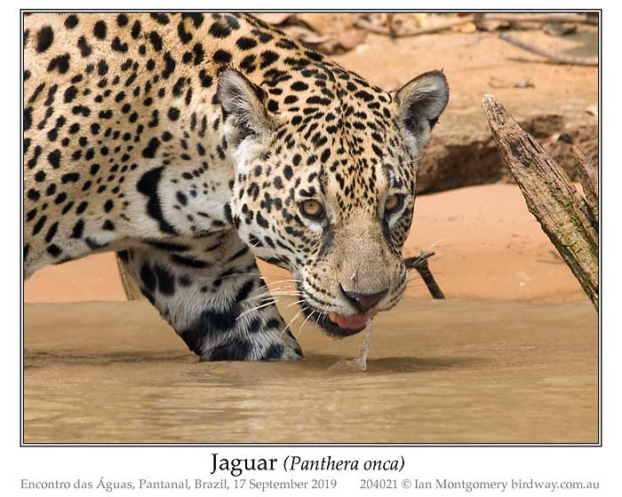 Photo of Name jaguar_204021_pp