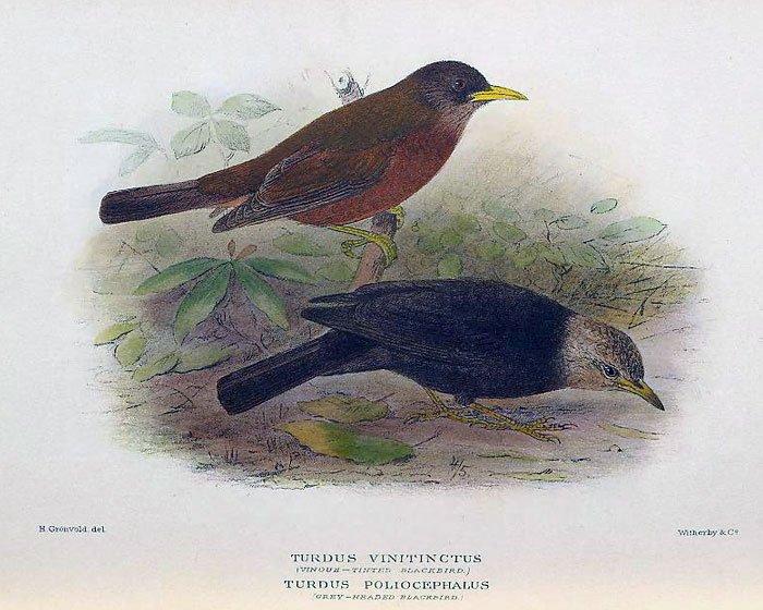 Photo of Island Thrush mathews_1928_p27