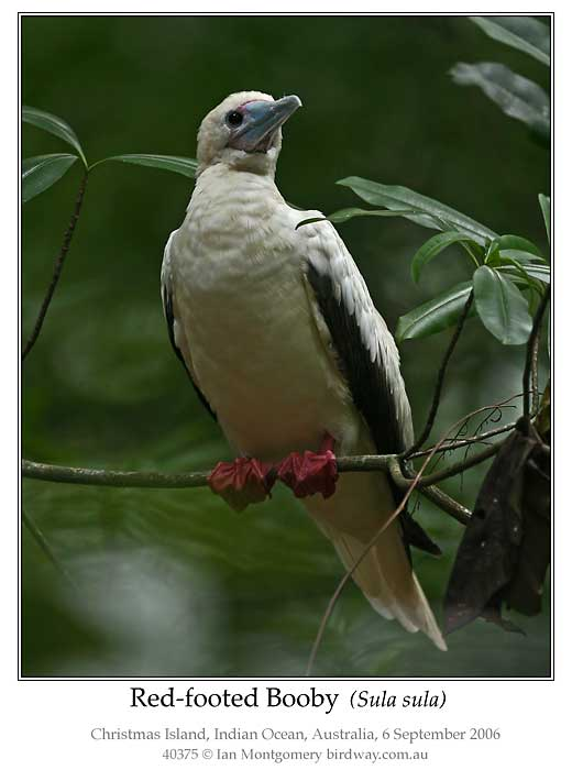 Photo of Red-footed Booby red_footed_booby_40375_pp