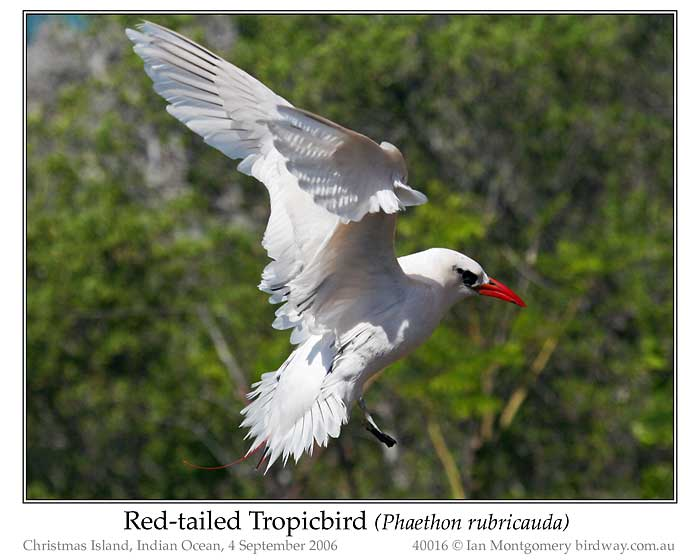 Photo of Red-tailed Tropicbird redtailed_tropicbird_40016_pp