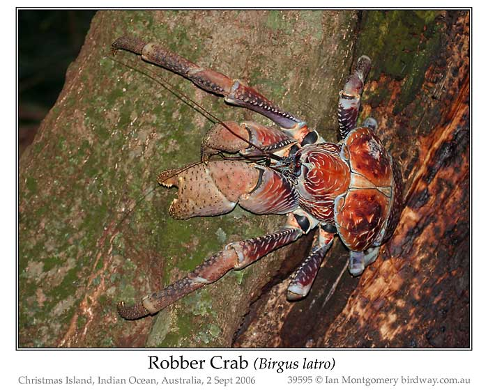 Photo of Robber Crab robber_crab_39595_pp