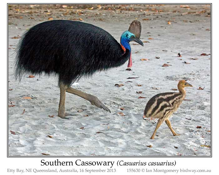 Photo of Southern Cassowary southern_cassowary_155630_pp