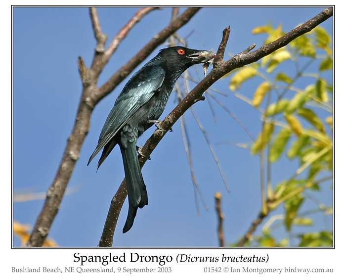 Photo of Spangled Drongo spangled_drongo_01542_pp