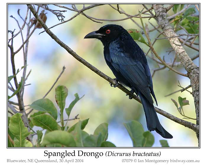 Photo of Spangled Drongo spangled_drongo_07079_pp