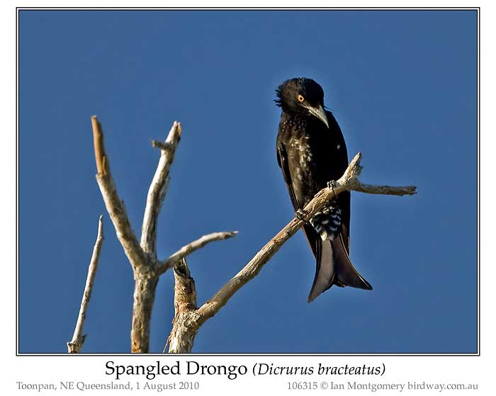 Photo of Spangled Drongo spangled_drongo_106315_pp