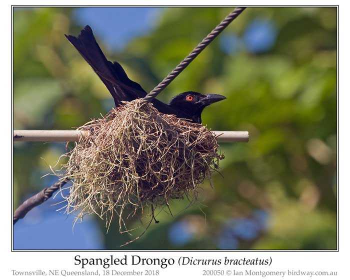 Photo of Spangled Drongo spangled_drongo_200050_pp