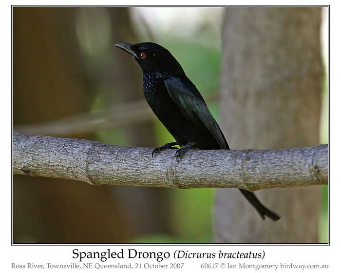 Photo of Spangled Drongo spangled_drongo_60617_pp