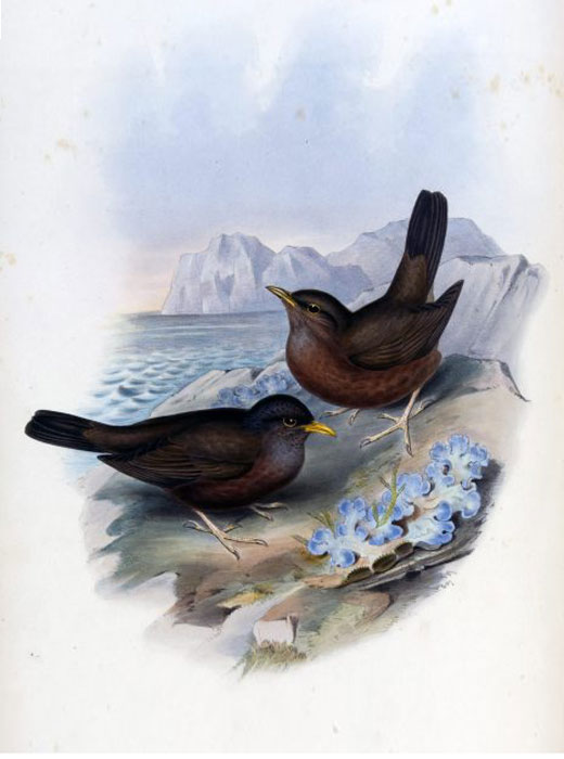 Photo of Island Thrush turdus_poliocephalus_vinitinctus