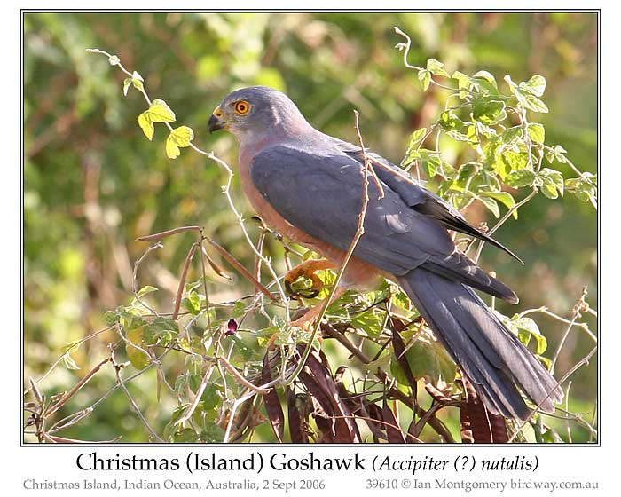 Photo of Christmas Island Goshawk variable_goshawk_39610_pp