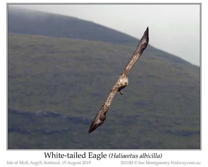 Photo of White-tailed Eagle white_tailed_eagle_201182_pp