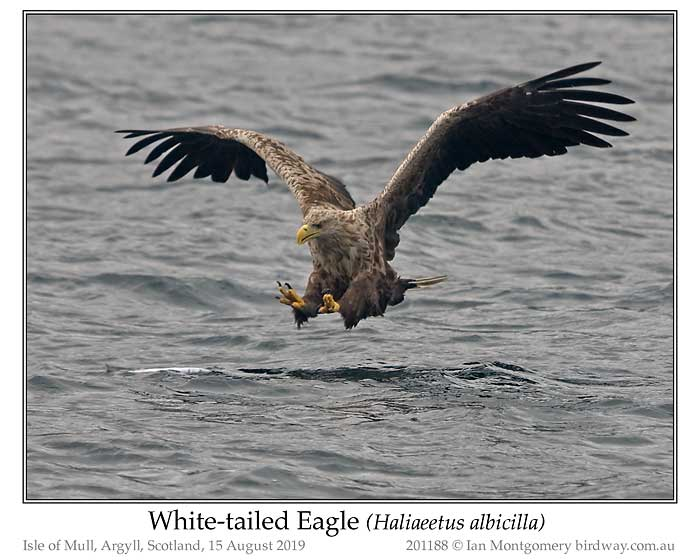 Photo of White-tailed Eagle white_tailed_eagle_201188_pp