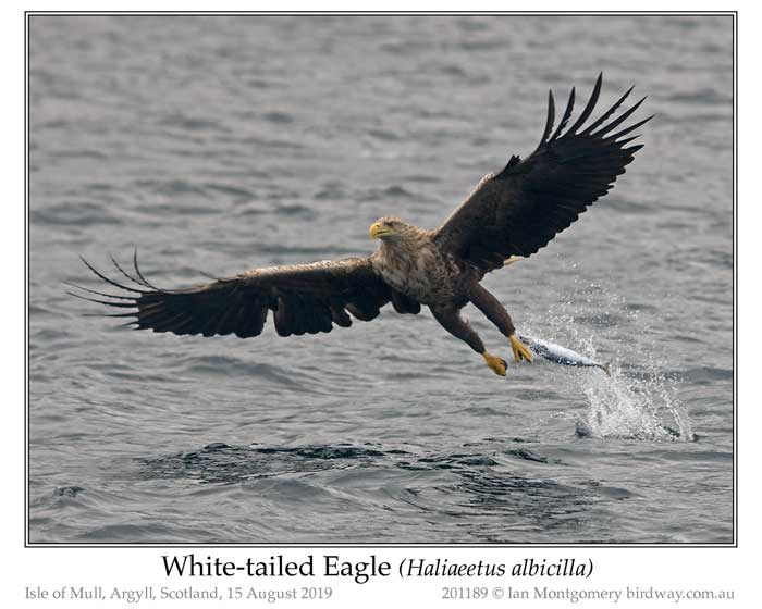 Photo of White-tailed Eagle white_tailed_eagle_201189_pp